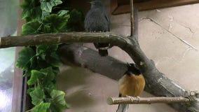 Bird, Belopoyasnichny Magpie-robin stock footage