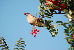 Bird with Berry in its beak Stock Image