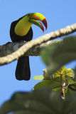 Bird with big bill Keel-billed Toucan, Ramphastos sulfuratus, sitting on the branch with blue sky, Mexico Stock Image