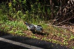 Bird in Big Island, Hawaii Royalty Free Stock Images