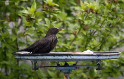 Bird in bird bath. Close up of black bird sat in bird bath in front of plants Royalty Free Stock Photography