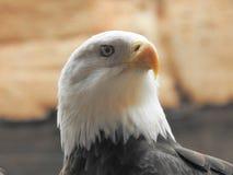 Bird, Bird Of Prey, Beak, Eagle royalty free stock photos