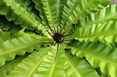 Bird, bird`s nest fern. Asplenium, asplenium nidus Stock Photography