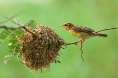 Bird and Bird's Nest Royalty Free Stock Photo