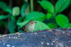 Bird,Bird Siberian blue robin Stock Photography