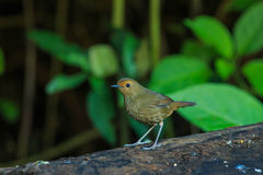 Bird,Bird Siberian blue robin Royalty Free Stock Photos