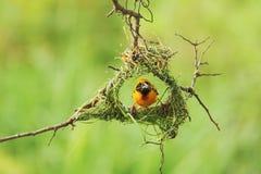 Bird and Bird'sNest Royalty Free Stock Photos