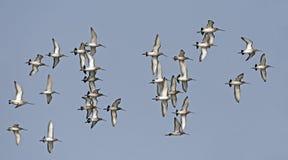 Bird, Bird of Thailand, Black-tailed Godwit. On blue sky in Flight Stock Photo