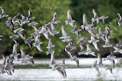 Bird, Bird of Thailand, Migration birds Asian Dowitcher and Black-tailed Godwit Stock Photography