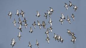 Bird, Bird of Thailand, Migration birds Black-tailed Godwit Stock Photos