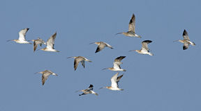 Bird, Bird of Thailand, Migration birds Eurasian Curlew Stock Image