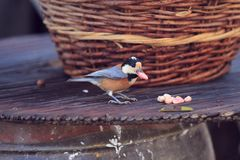 A bird is biting a peanut. In the sunny day in autumn stock image