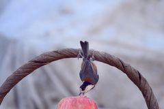 bird biting a peanut royalty free stock photography