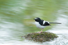 Bird Black-backed Forktail ,Perching on stone with green river s Stock Image