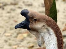 A bird with a black beak and a horn.  Royalty Free Stock Photography