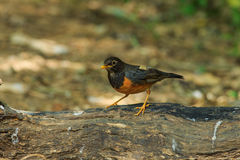 Bird,Black-breasted Thrush. Turdus dissimilis (Doi Ang Khang, Chiang Mai, Thailand Stock Photography