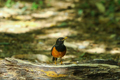Bird,Black-breasted Thrush. Turdus dissimilis (Doi Ang Khang, Chiang Mai, Thailand Stock Images