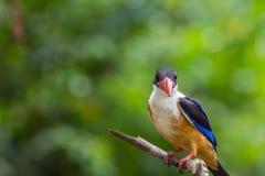 Bird (Black-capped Kingfisher) on a tree Stock Photos