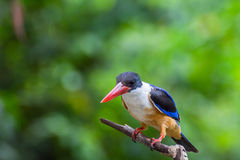 Bird (Black-capped Kingfisher) on a tree Stock Images