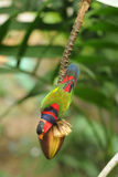Bird --- Black-capped Lory Stock Photo