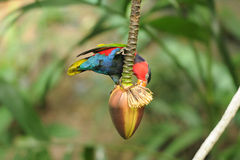 Bird --- Black-capped Lory Stock Images