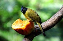 Bird --- black-crested yellow bulbul Stock Photo