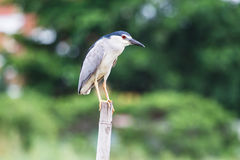 Bird, Black-Crowned Night-Heron standing on bamboo in the lake Royalty Free Stock Images