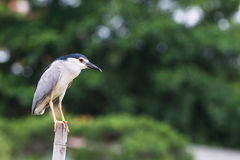 Bird, Black-Crowned Night-Heron standing on bamboo in the lake Stock Photography