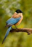 Bird with black head and blue tail on a branch Stock Images