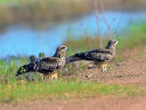 Bird (Black kite) , Thailand Royalty Free Stock Image