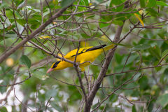 Bird (Black-Naped Oriole) on a tree Royalty Free Stock Photography