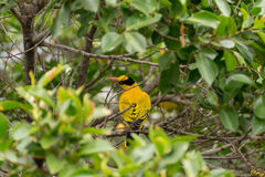 Bird (Black-Naped Oriole) on a tree Royalty Free Stock Images