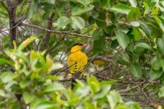 Bird (Black-Naped Oriole) on a tree Royalty Free Stock Photos