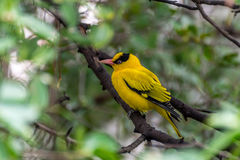 Bird (Black-Naped Oriole) on a tree Stock Image