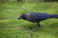 Bird a black raven on a grass Royalty Free Stock Photos