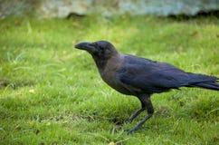 Bird a black raven on a grass Stock Photography