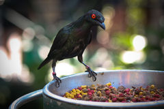 Bird. Black bird with red eyes Stock Photography