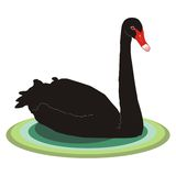 Bird black swan Stock Images