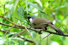 Bird (Black-throated Laughingthrush) , Thailand Royalty Free Stock Photography