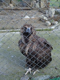 Bird black vulture in the aviary. Black vulture bird in cage, Caucasus Nature Reserve Royalty Free Stock Photos