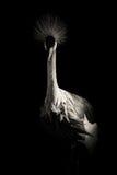 Bird black and white portrait. Elegant bird black and white portrait royalty free stock photography