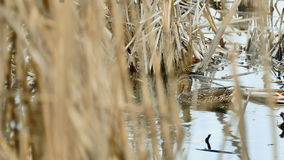 Bird black wild two duck floats on water in lake natural reeds conditions stock video