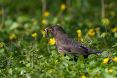Bird - Blackbird Stock Images