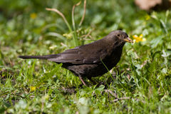 Bird - Blackbird Royalty Free Stock Photography