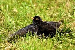 Bird, Blackbird, Beak, Fauna Stock Photos