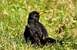 Bird, Blackbird, Beak, Fauna Royalty Free Stock Photography
