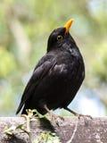 Bird, Blackbird, Beak, Fauna Stock Image