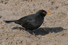 Bird, Blackbird, Beak, Fauna Stock Photo