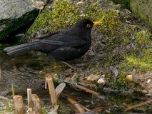 Bird, Blackbird, Fauna, Beak Stock Photos