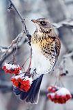 Bird is a Blackbird sitting on a branch of juicy red ash covered with snow in Park at winter Royalty Free Stock Image